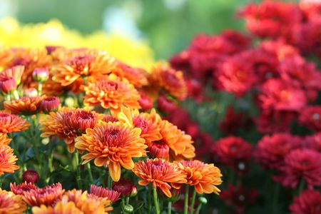 nature--chrysanthemum-155141290-5b1a01a33de42300373d7ce4.jpg