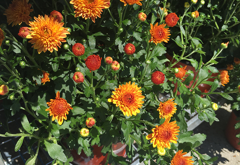 orange-mum-resized-aug2016.jpg