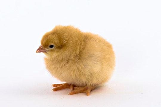 chick buff_orpington.jpg