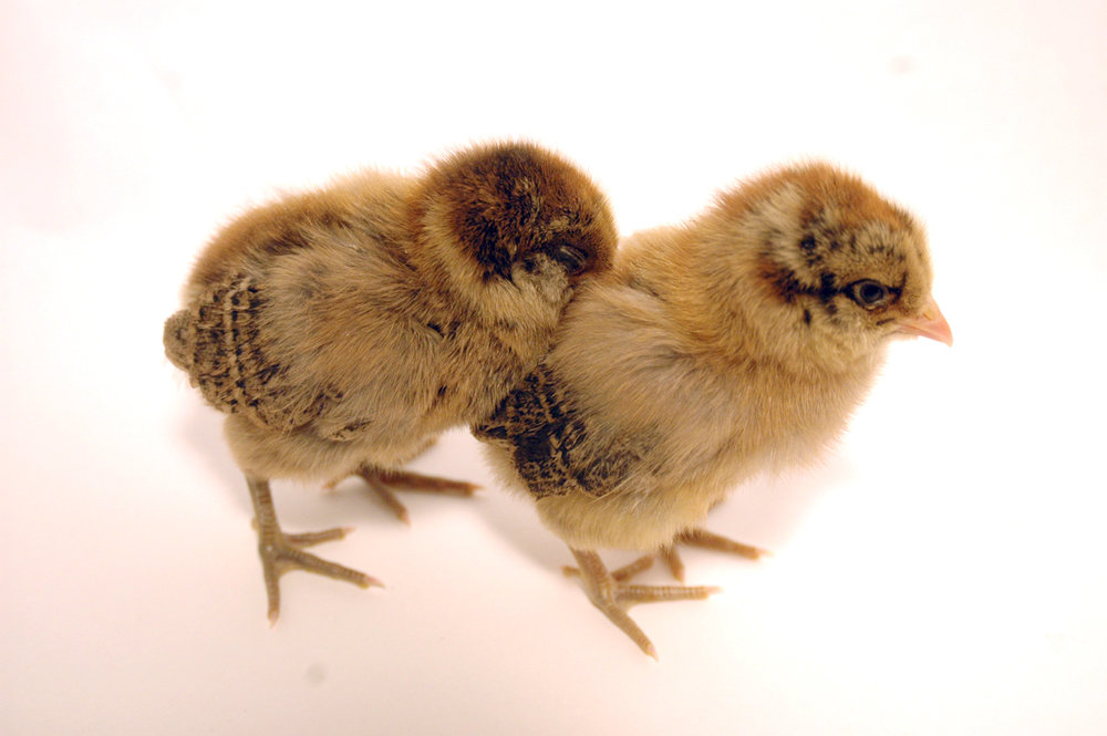 Ameraucana_chicks.jpg