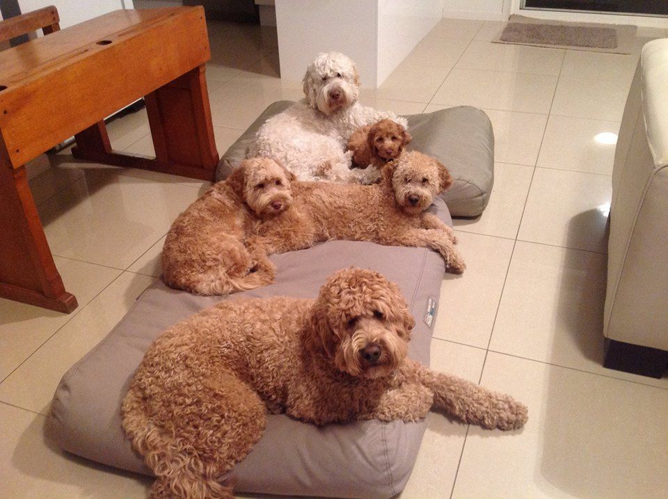 Taloodles Archie, Fergus, Poppy and Wagner with Beau