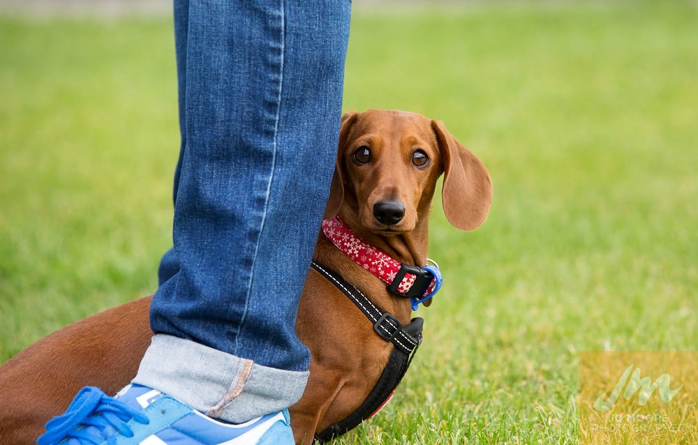 Dachshunds-2.jpg