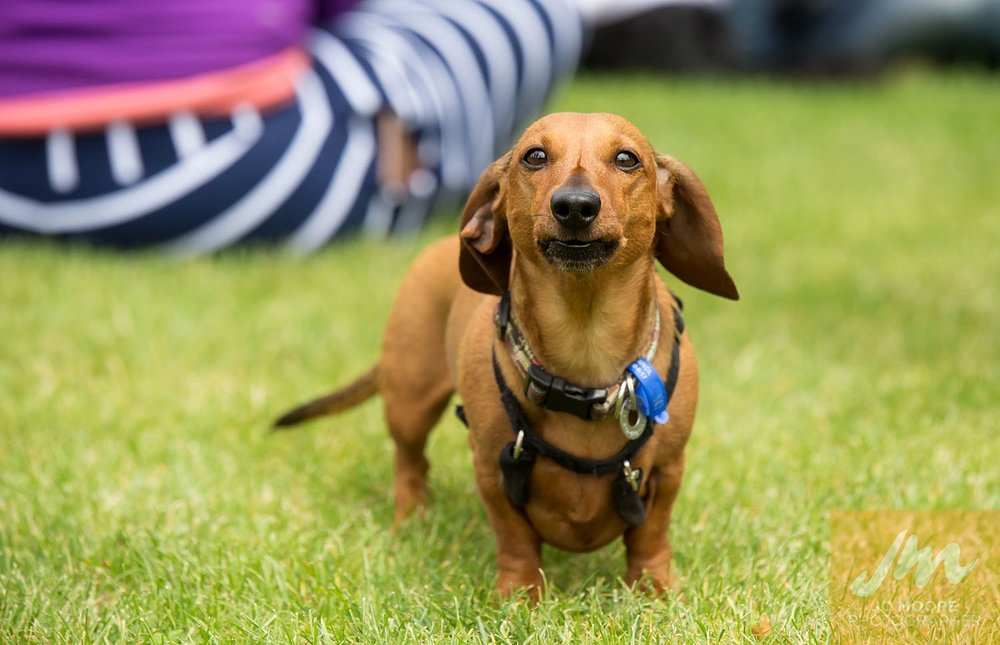 Dachshunds-11.jpg