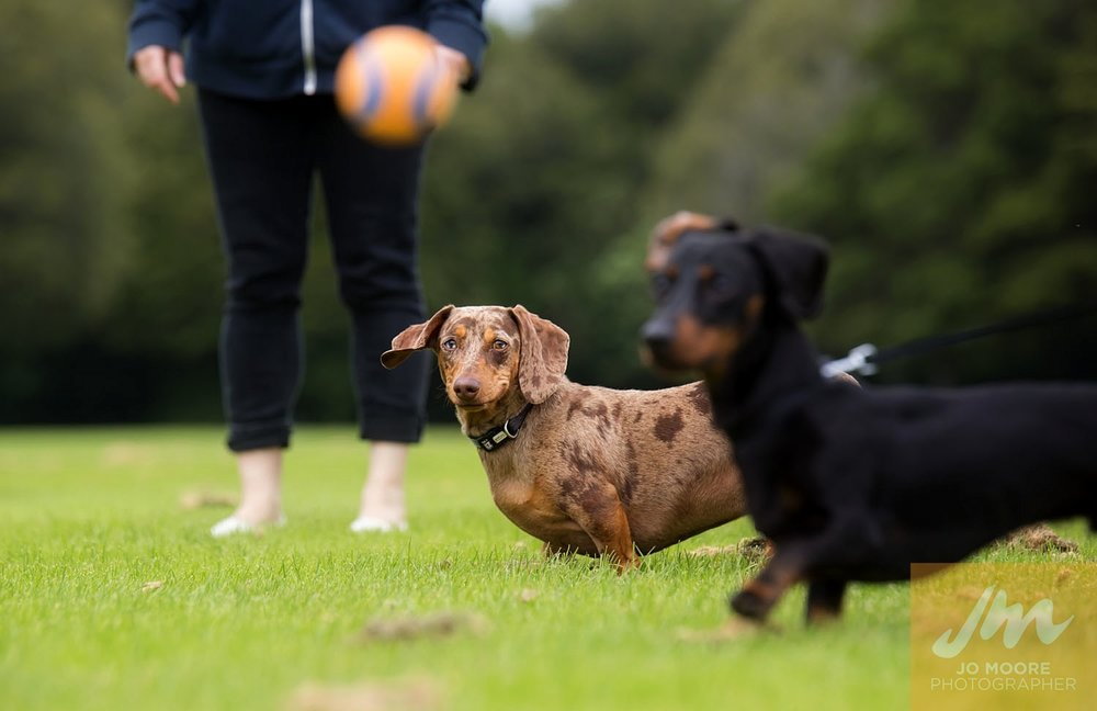 Dachshunds-44.jpg