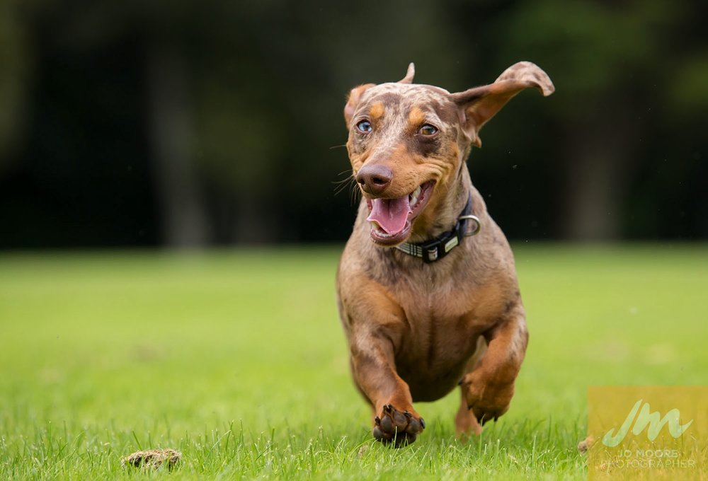 Dachshunds-48.jpg