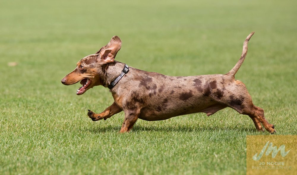 Dachshunds-53.jpg