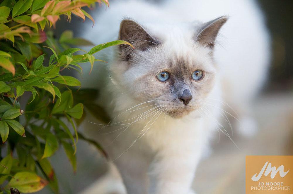 Birman Kittens-4.jpg