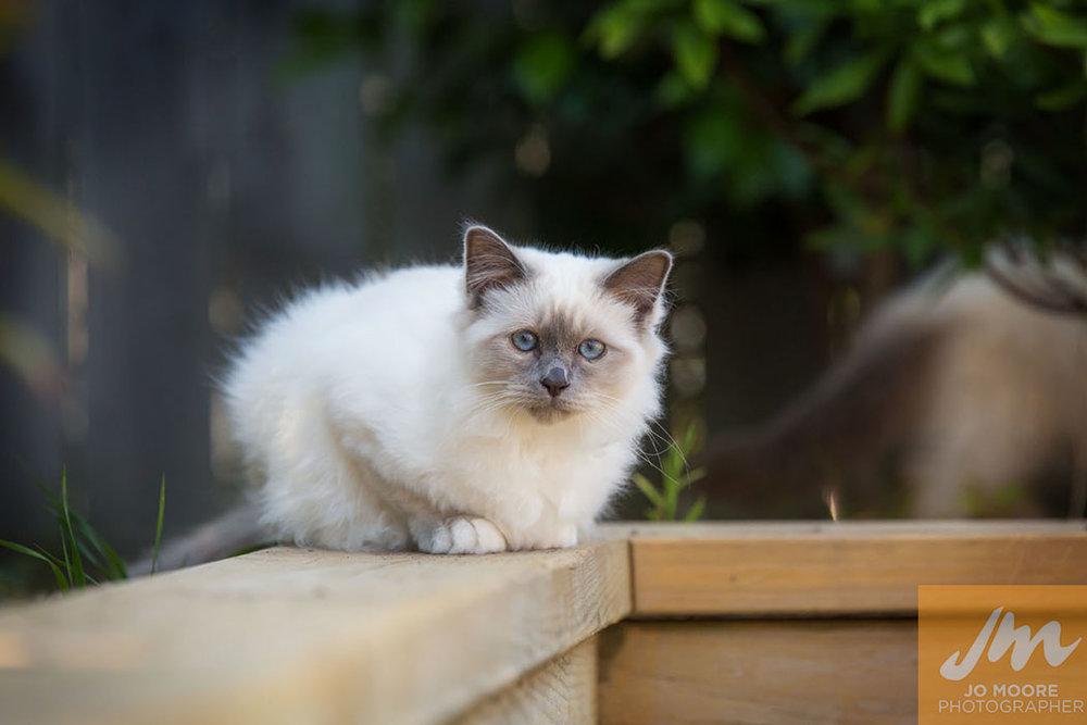 Birman Kittens-11.jpg