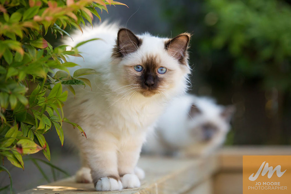 Birman Kittens-9.jpg