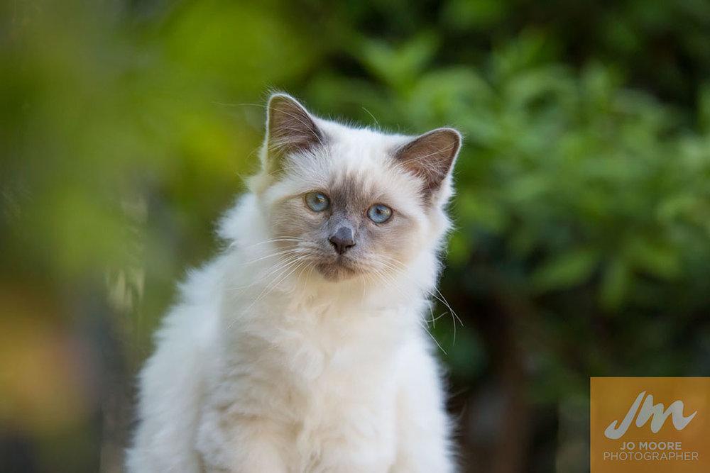 Birman Kittens-13.jpg