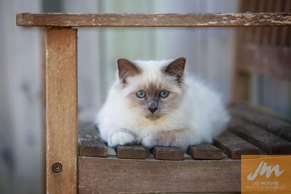 Birman Kittens-20.jpg