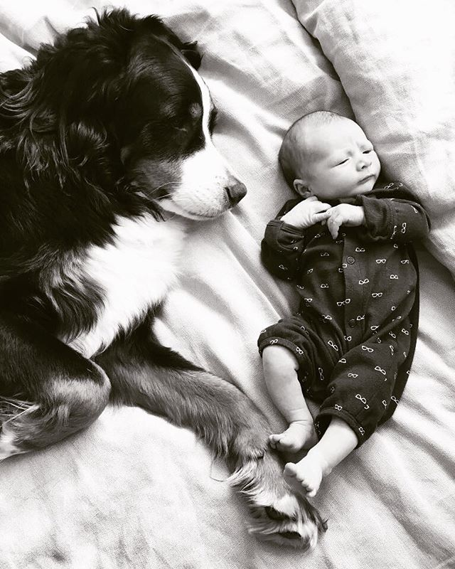 Brotherly Love.  #babyJ #jackson #baby #newborn #infant #shotoniPhone #iPhone6s #shotoniphone6s #iPhone #iPhoneography #startsomethingnew #bernese #bernesemountaindog #mountaindog #brothers #puppy #dogsofinstagram #babiesofinstagram