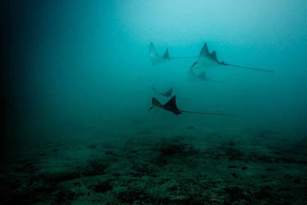 Flight fn the Spotted Eagle Ray