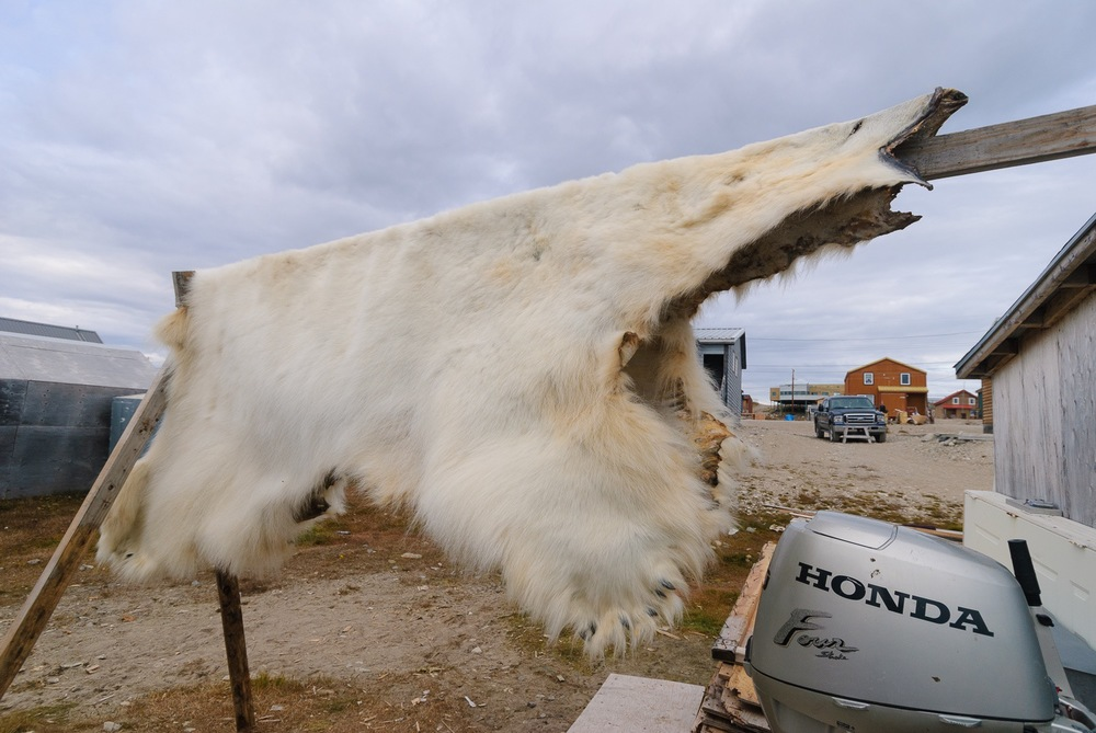 Polar Bear Hide - Gjoa Haven, Nunavut, Canadian Arctic