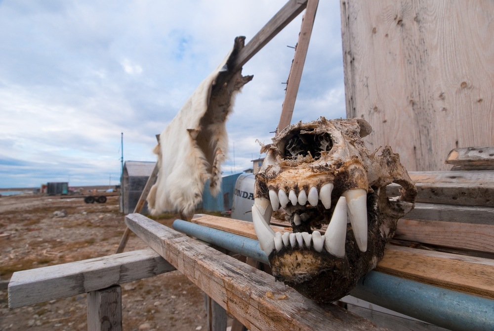 Polar Bear Skull and Hide - Gjoa Haven, Nunavut, Canadian Arctic