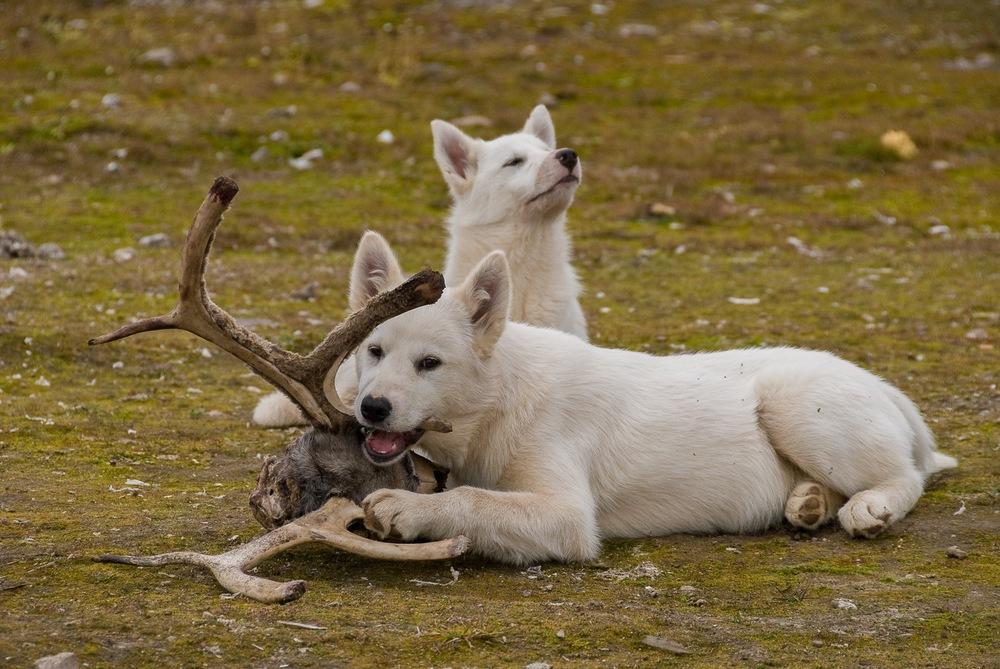 Sled Dog Siblings - Qikiqtarjuaq, Nunavut, Canadian Arctic