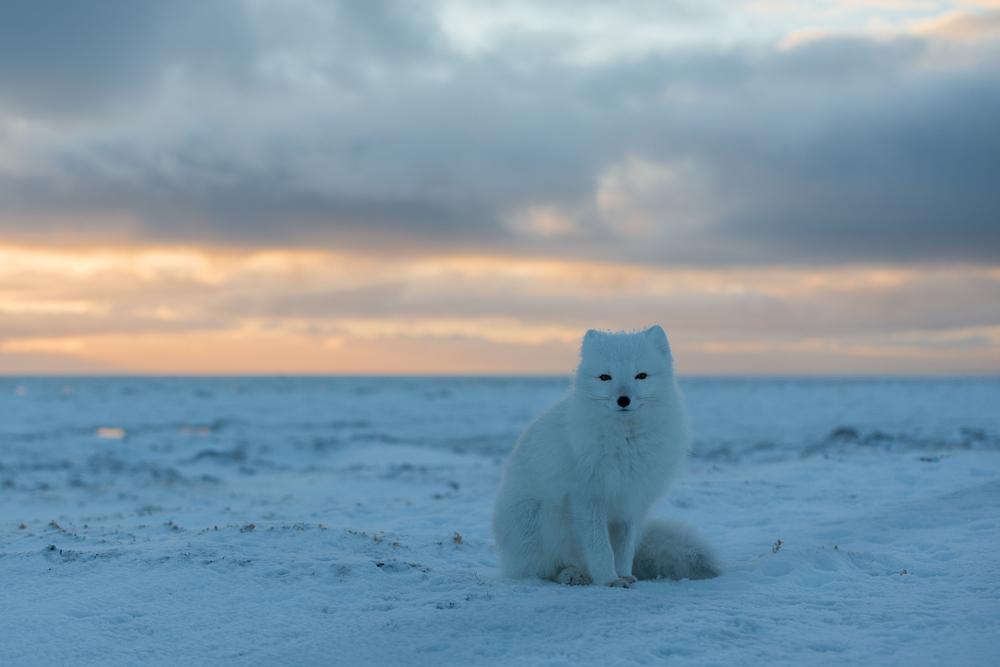Arctic Fox, Coast of Hudson Bay, Nunavut, Canadian Arctic