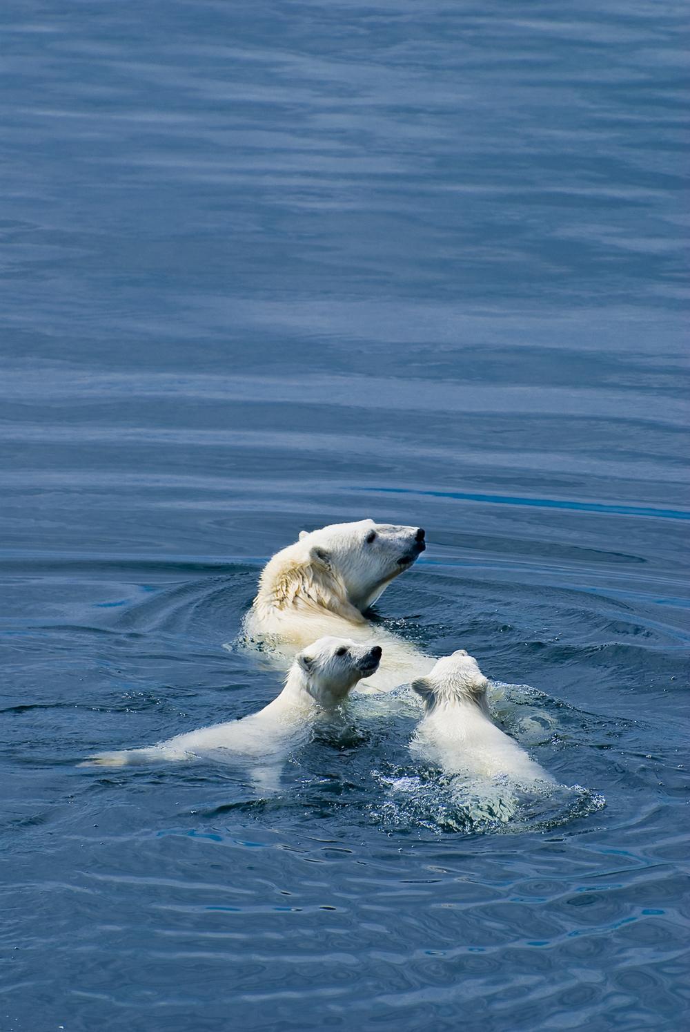 Polar Bear Mother and Cubs at Sea - Nunavut, Canadian Arctic
