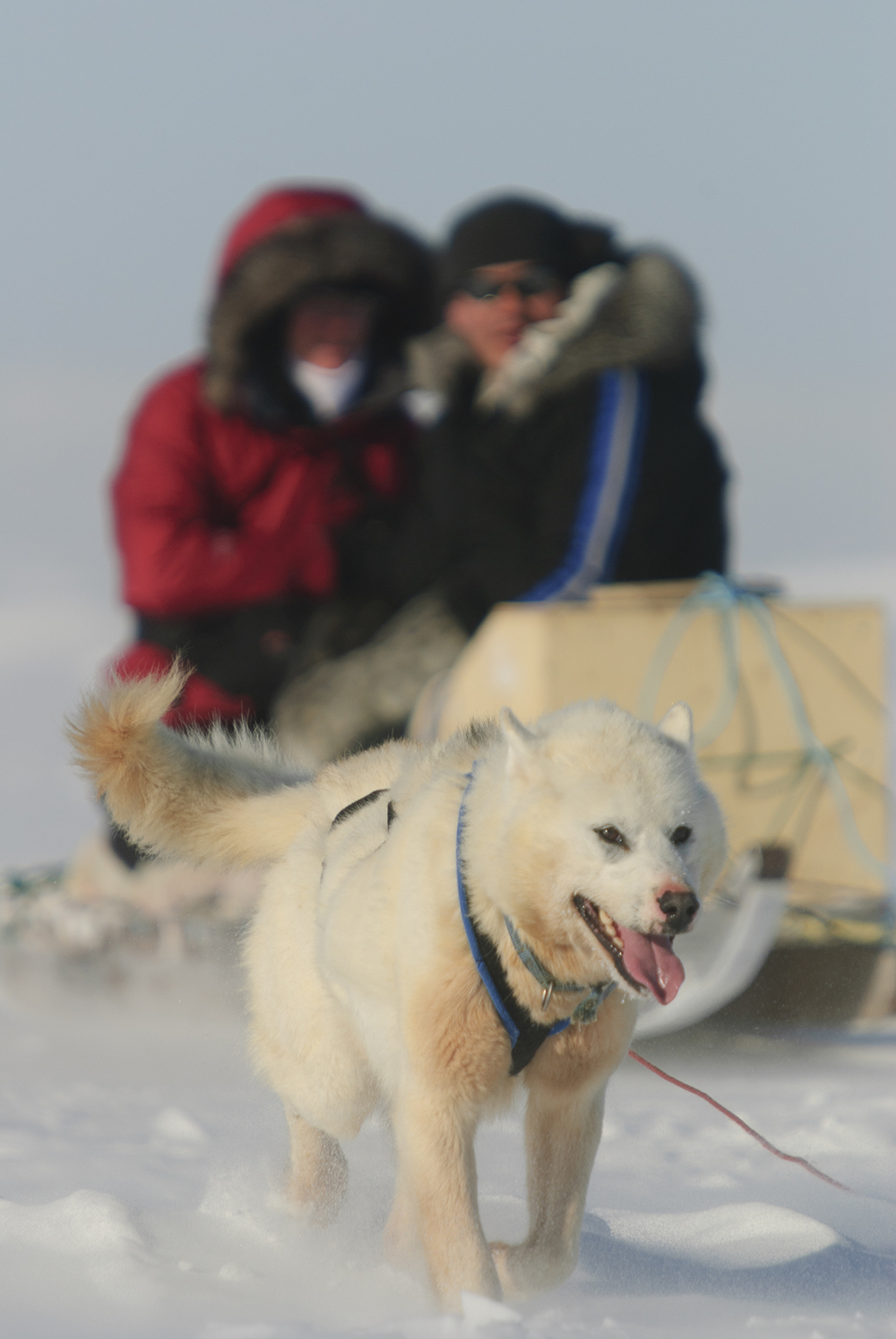 Sled Dog Pulling Hard - Hudson Bay Coast, Nunavik, Canadian Arctic