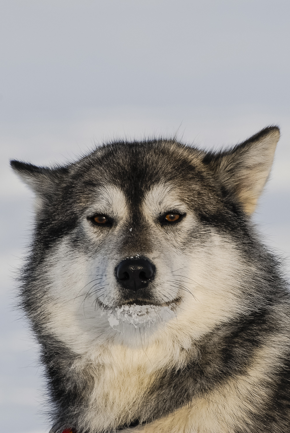 Wise Sled Dog - Puvirnituq, Nunavik, Canadian Arctic