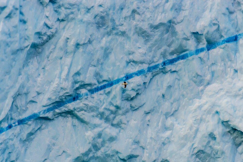 Northern Fulmar and Blue Ice Streak - West Greenland