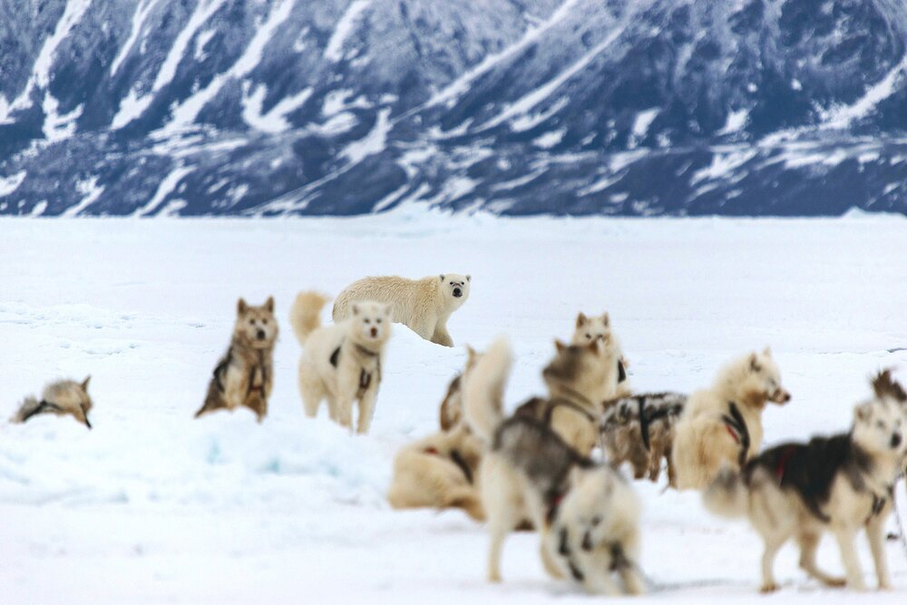 Polar Bear and Inuit Sled Dogs - Baffin Bay, Nunavut, Canadian Arctic