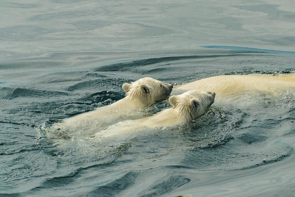 Polar Bear Cubs Swimming With Their Mother - Nunavut, Canadian Arctic