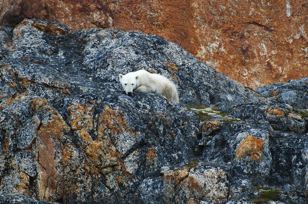 Starving Polar Bear on The Rocks