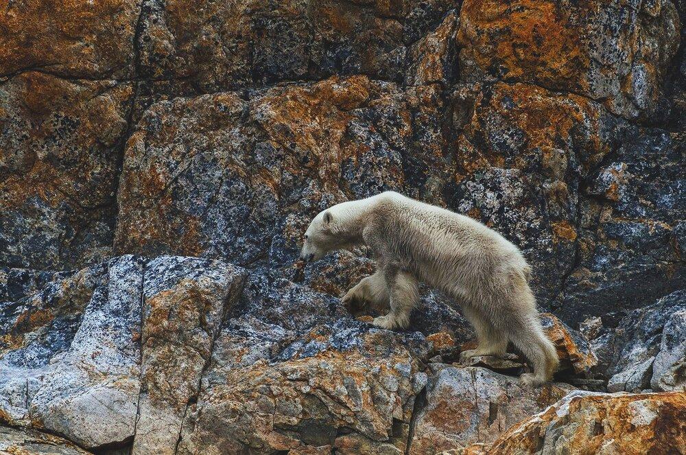Starving Polar Bear - Nunavut, Canadian Arctic