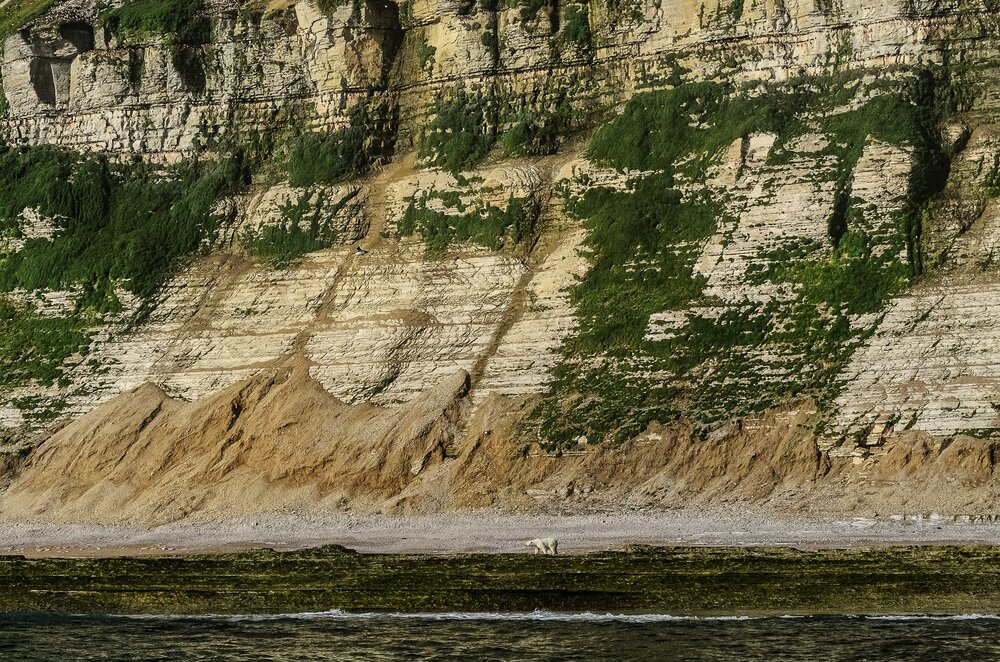 Stranded Polar Bear Beneath Massive Cliffs