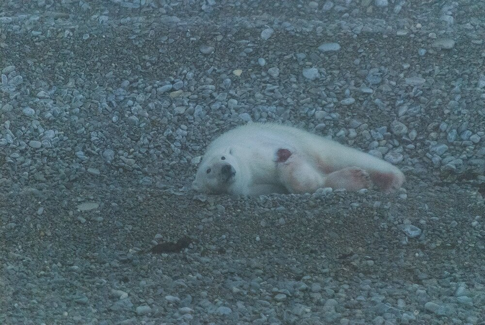 Mortally Wounded Stranded Polar Bear, Killed By Another Polar Bear Due To Food Stress