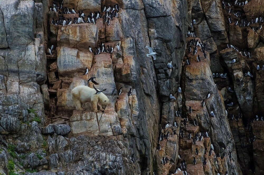 Stranded Polar Bear Surviving on Seabirds Until Ice Forms