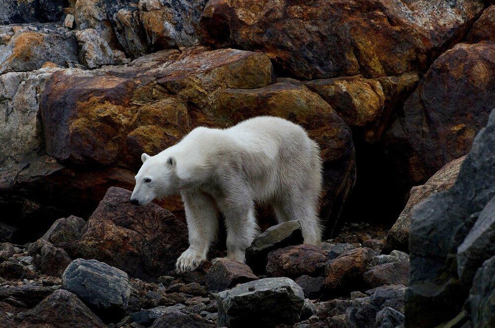 Portrait of a Starving Polar Bear - Nunavut, Canadian Arctic