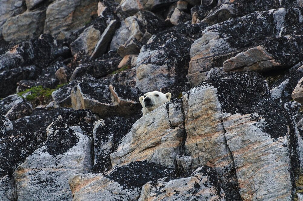 Stranded Polar Bear Among The Rocks