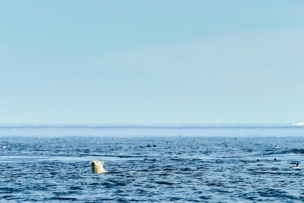 Swimming Polar Bear Spy-Hopping - Nunavut, Canadian Arctic
