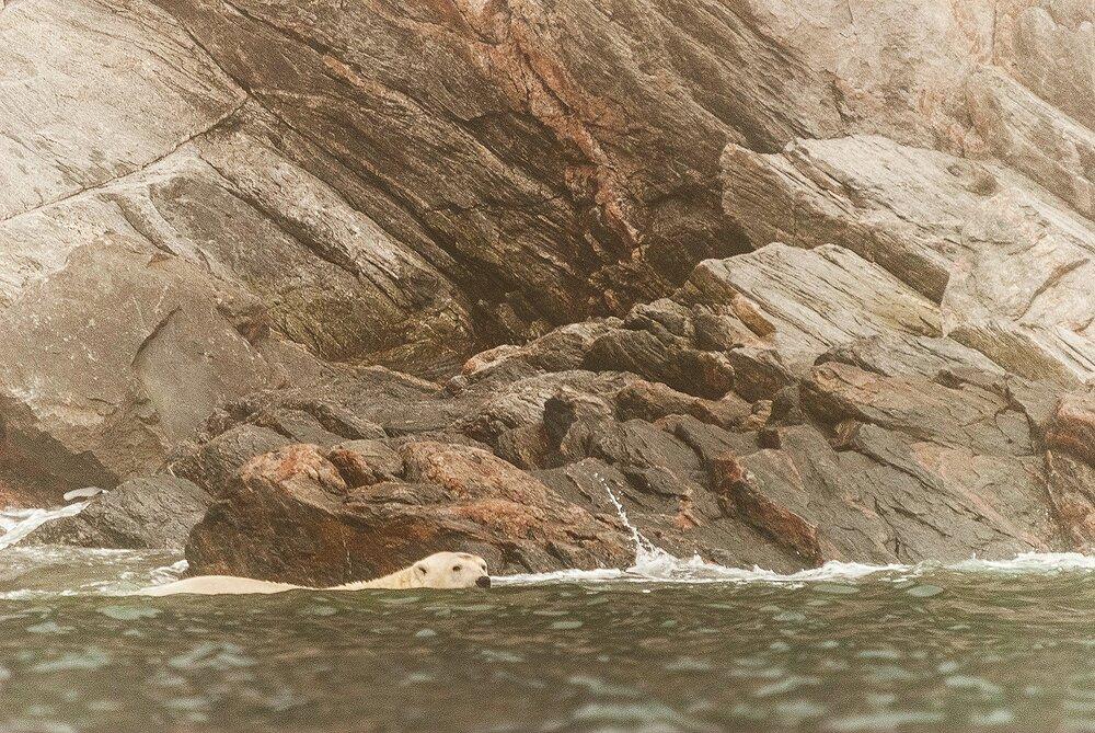 Stranded Polar Bear Swimming Along The Shoreline - Nunavut, Canadian Arctic