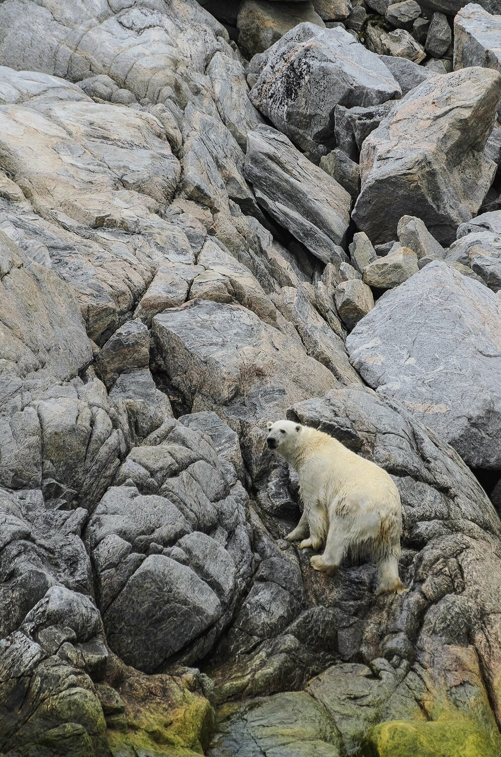 Stranded Polar Bear Emerging From The Sea - Nunavut, Canadian Arctic
