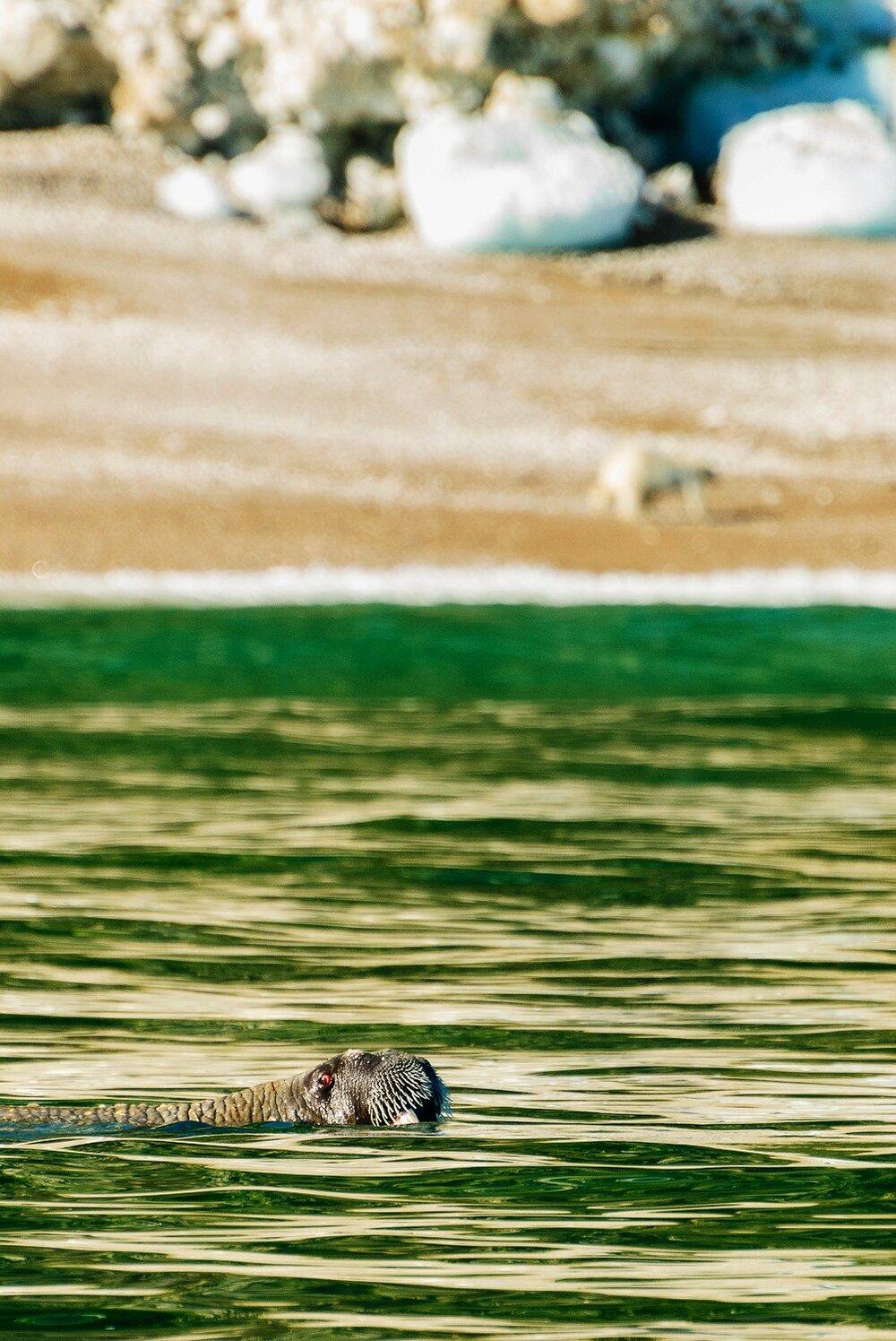 Walrus and Stranded Polar Bear - Nunavut, Canadian Arctic
