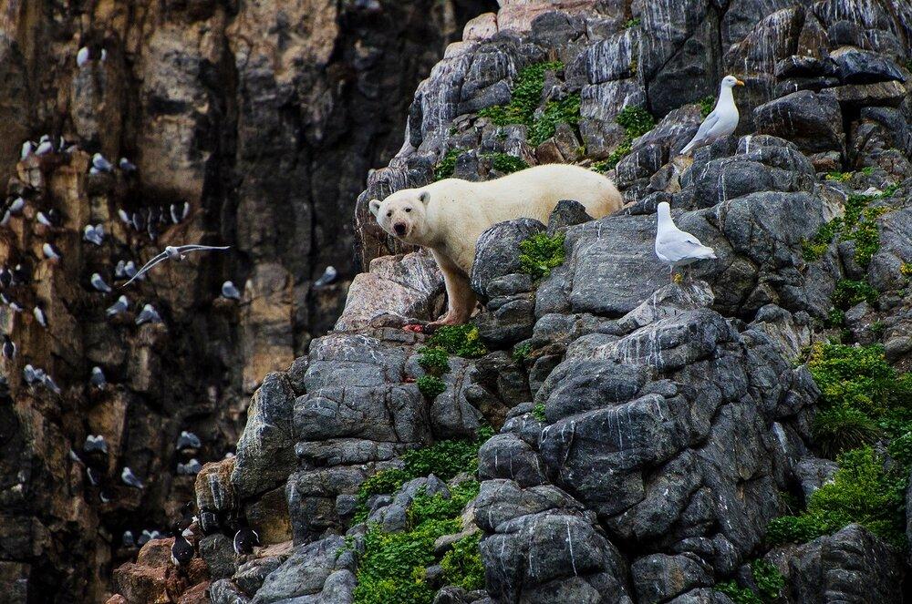 Stranded Polar Bear Surviving in a Seabird Colony - Nunavut, Canadian Arctic