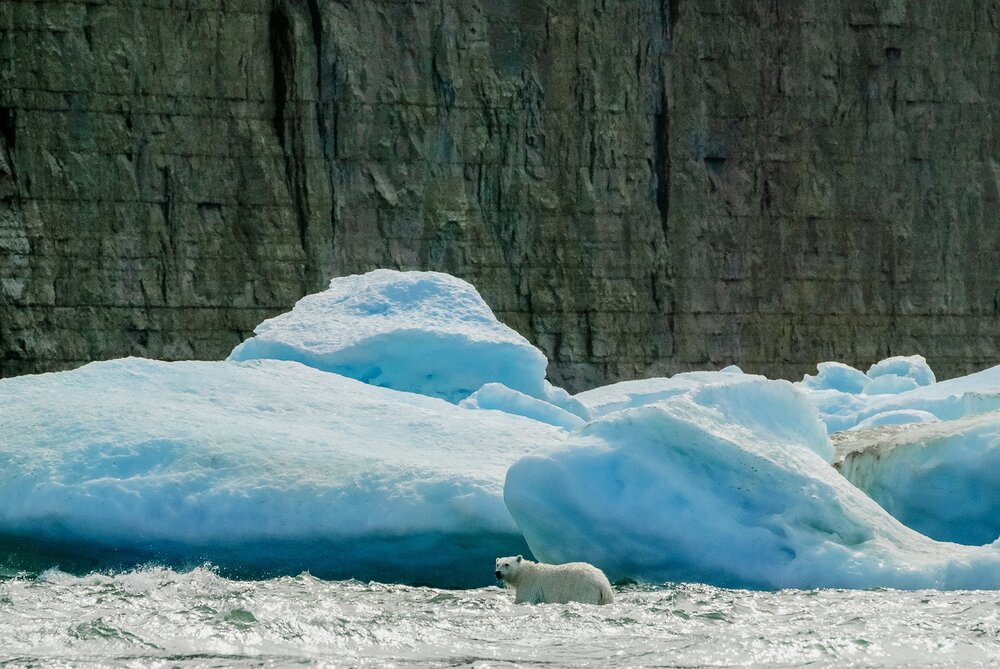 Stranded Polar Bear in the Surf - Nunavut, Canadian Arctic