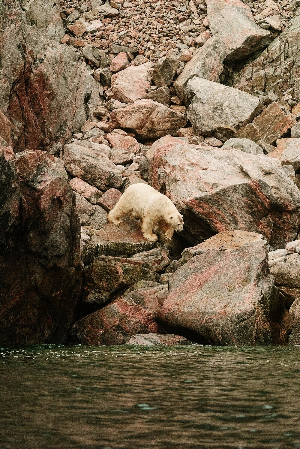 Stranded Polar Bear Entering The Sea - Nunavut, Canadian Arctic