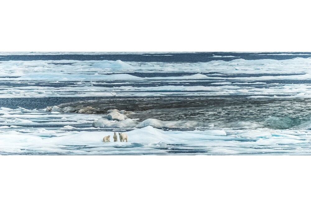 Polar Bear Mother and Cubs on the Melting Ice - Rae Strait, Nunavut, Canadian Arctic