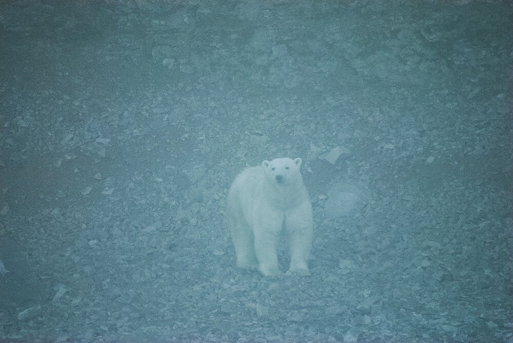 Stranded Polar Bear Emerging From the Fog