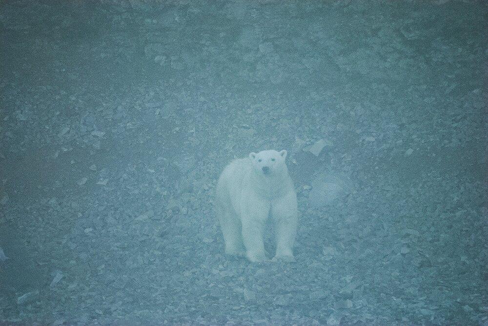 Stranded Polar Bear Emerging From the Fog - Nunavut, Canadian Arctic