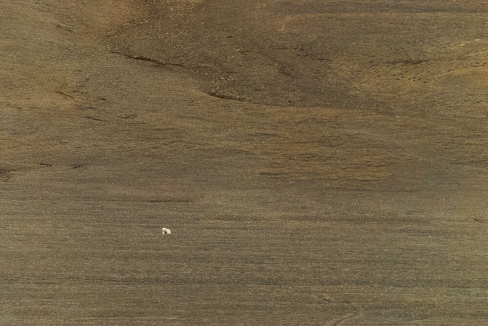 Stranded Polar Bear in the Polar Desert