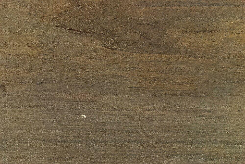 Stranded Polar Bear in the Polar Desert - Beechey  Island, Nunavut, Canadian Arctic