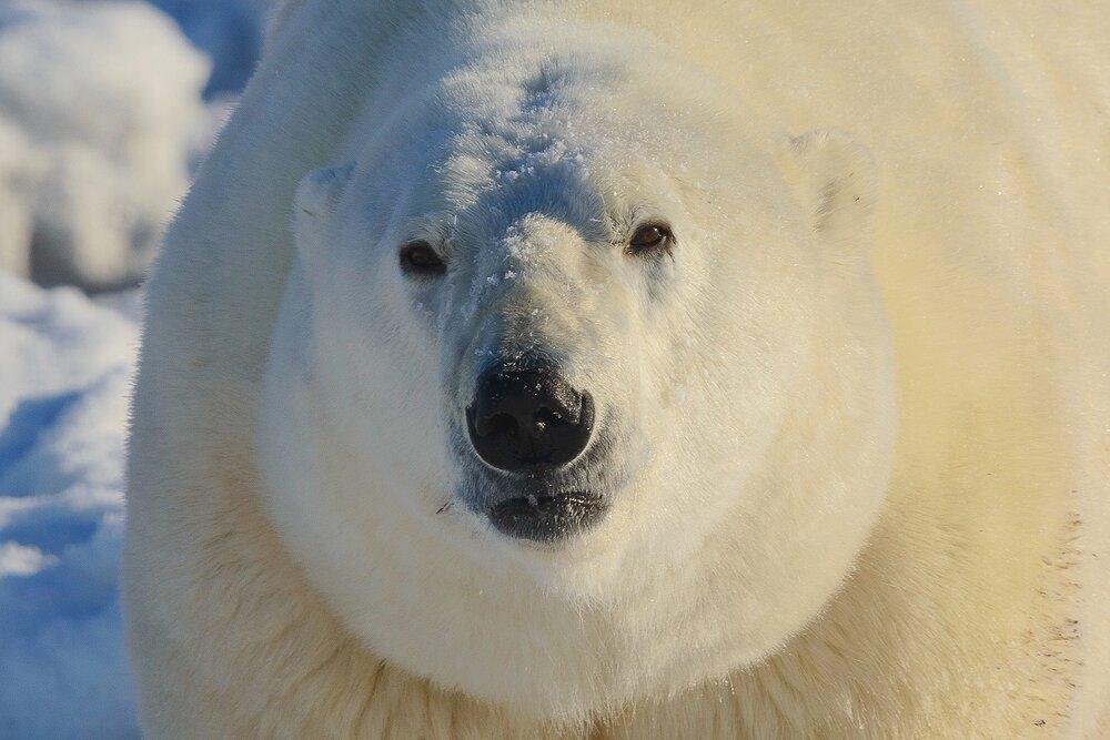 Portrait of a Very Large Polar Bear - Nunavut, Canadian Arctic