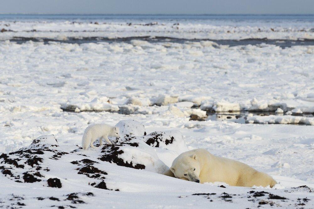 Arctic Fox Sneaking Up on a Sleeping Polar Bear - Nunavut, Canadian Arctic