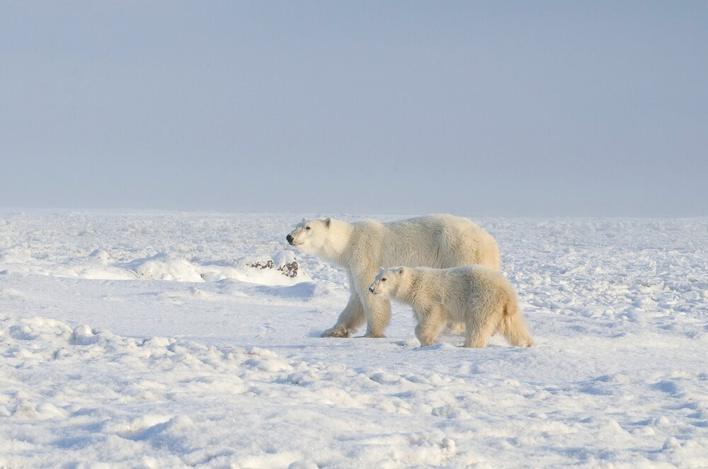 Mother and Cub Polar Bears at the Edge of Hudson Bay - Nunavut, Canadian Arctic
