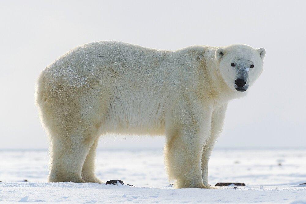 Polar Bear on the Tundra - Nunavut, Canadian Arctic